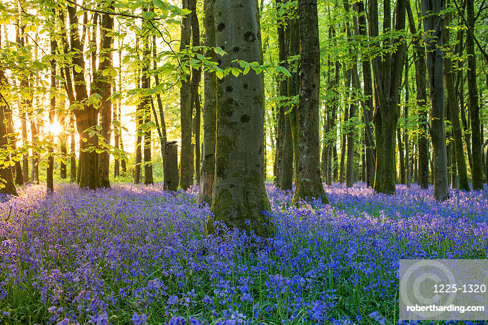 Bluebells cover a woodland floor during Spring in a small forest and catch the last rays of sun