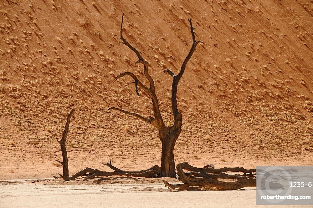 Skeleton trees, Sossusvlei (Death Valley), Namibia, Africa