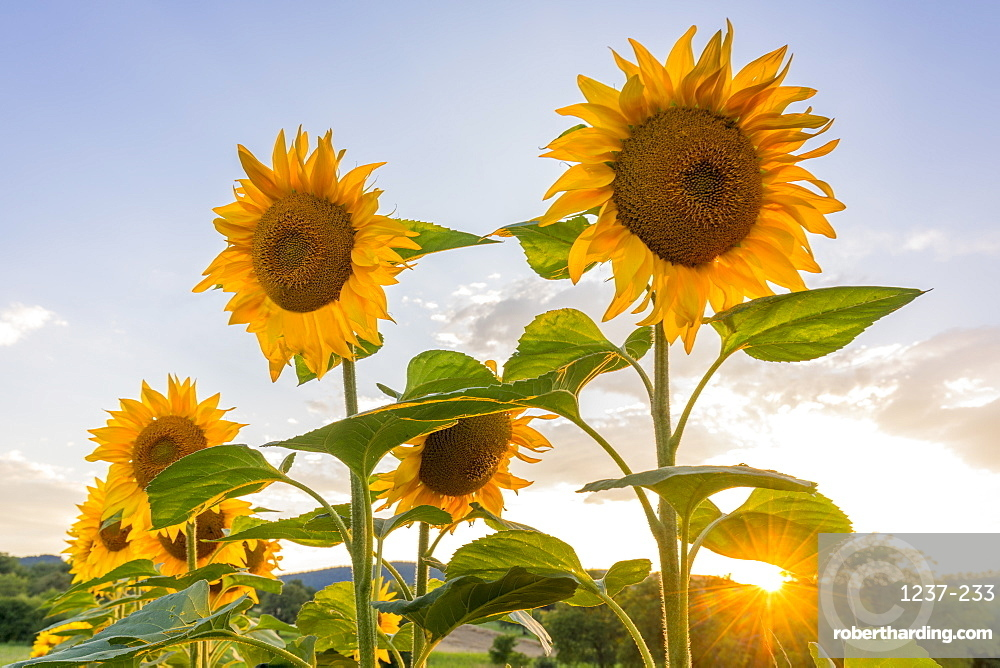 Sunflowers at sunset in Burgenland, Austria, Europe