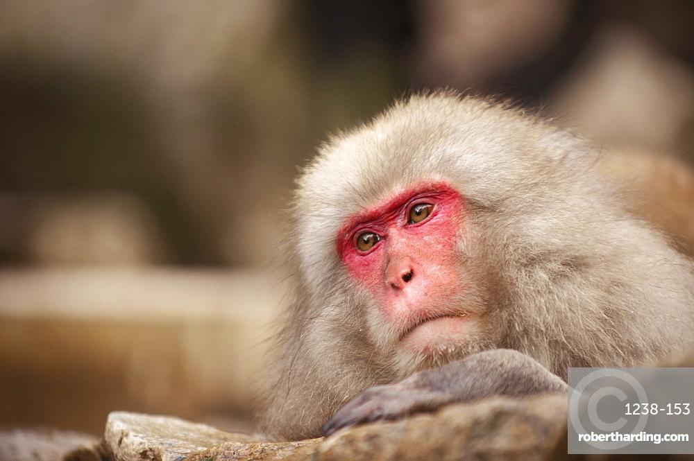 Japanese macaque, Jigokudani, Nagano, Japan