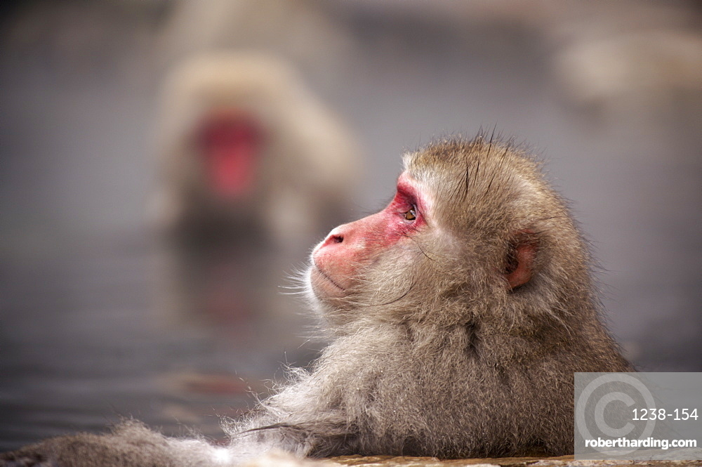 Japanese macaque in hot spring, Jigokudani, Nagano, Japan