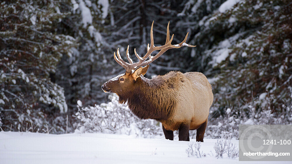 Large Bull Elk (Cervus canadensis) standing in deep snow during winter in Banff National Park, Alberta, Canada