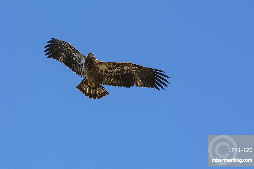 Juvenile Bald Eagle in flight (Haliaeetus leucocephalus), Jasper National Park, Alberta, Canada, North America