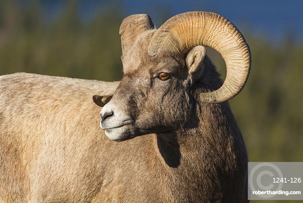 Rocky Mountain Bighorn Ram (Ovis canadensis) close up portrait, Jasper National Park, UNESCO World Heritage Site, Alberta, Canada, North America