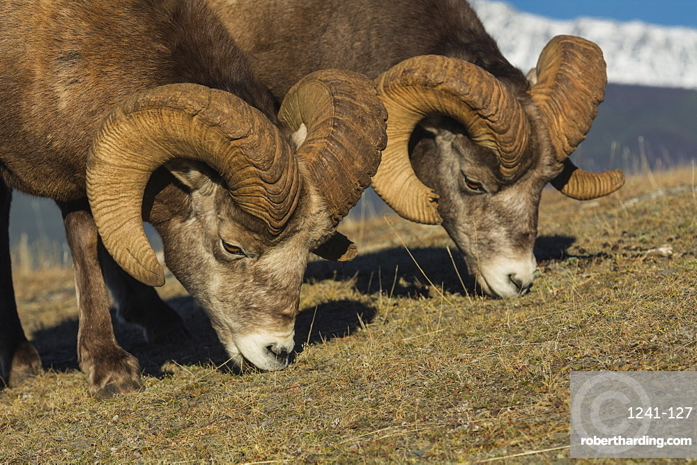Rocky Mountain Bighorn Rams (Ovis canadensis) grazing, Jasper National Park, UNESCO World Heritage Site, Alberta, Canada, North America