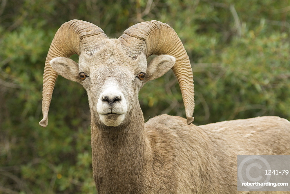 Close up of a wild Rocky Mountain Bighorn Sheep (Ovis canadensis), Jasper National Park, Canada, North America