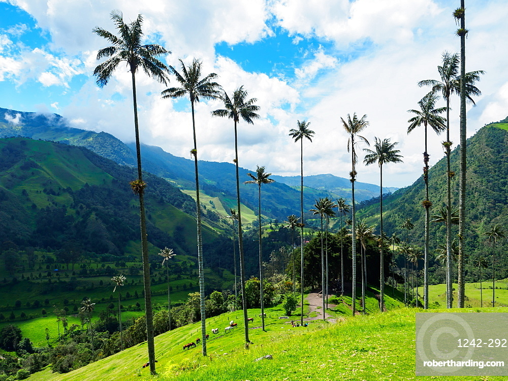 Towering wax palms, Valle de Corcora, near Salento, Colombia, South America