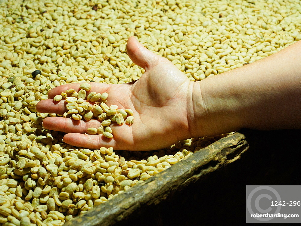 Processed coffee beans in a drying oven, Hacienda Guayabal, near Manizales, Coffee Region, Colombia, South America