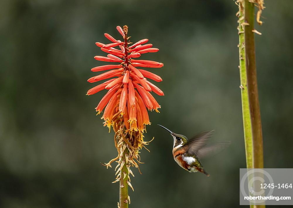 Colibri Hummingbird, La Montana, Salento, Quindio Department, Colombia, South America