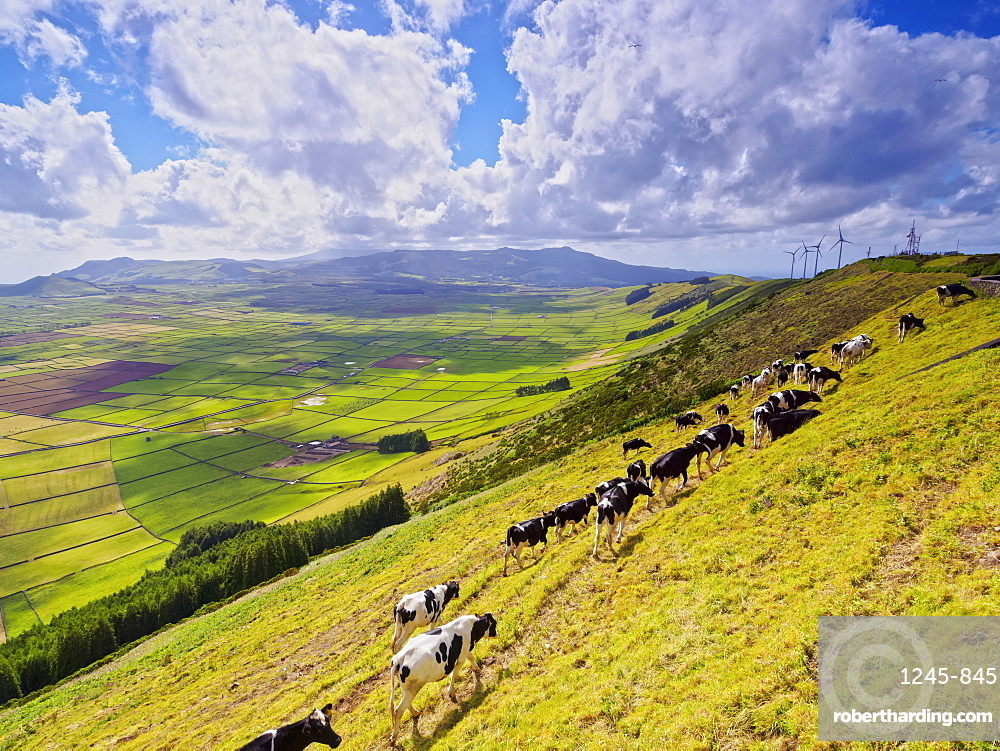 Cows on the slope of Serra do Cume, Terceira Island, Azores, Portugal, Atlantic, Europe
