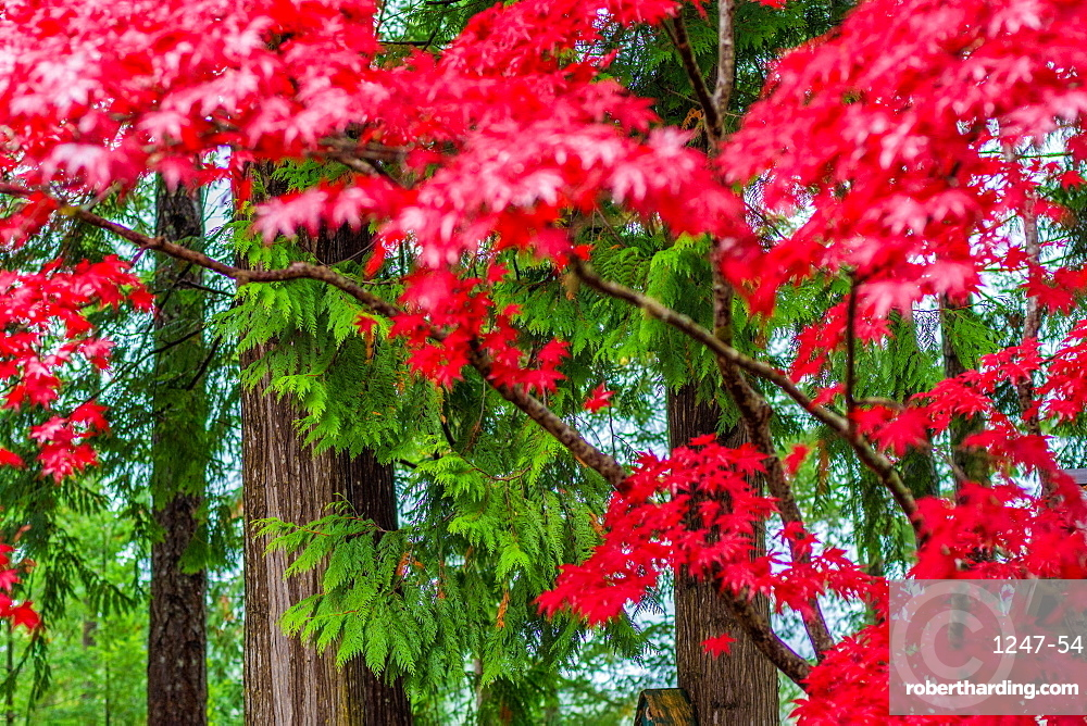 Japanese maple leaves and green trees on the Sunshine Coast, British Columbia, Canada, North America