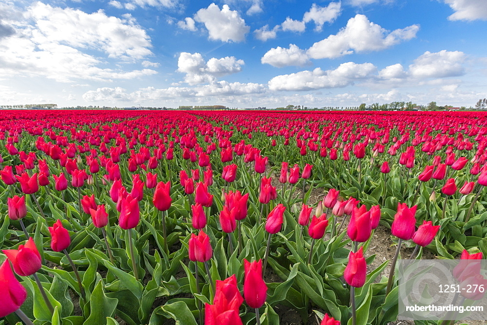 Pink tulips and clouds in the sky, Yersekendam, Zeeland province, Netherlands, Europe