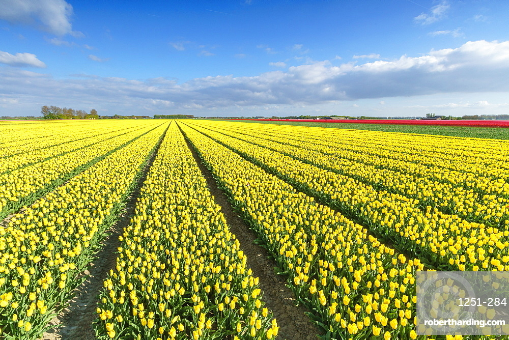 Yellow tulips in field, Yersekendam, Zeeland province, Netherlands, Europe