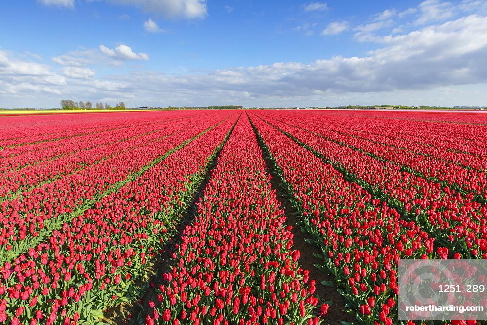 Red tulips in field, Yersekendam, Zeeland province, Netherlands, Europe