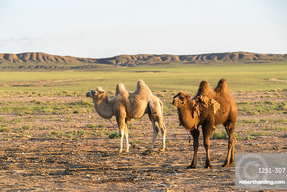 Two camels in Gobi desert, Ulziit, Middle Gobi province, Mongolia, Central Asia, Asia