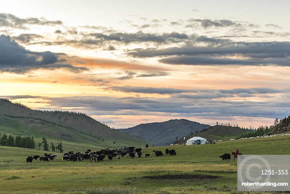 Shepherd on horse rounding up yaks at sunset, Burentogtokh district, Hovsgol province, Mongolia, Central Asia, Asia