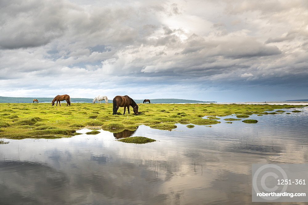 Horses grazing on the shores of Hovsgol Lake, Hovsgol province, Mongolia, Central Asia, Asia
