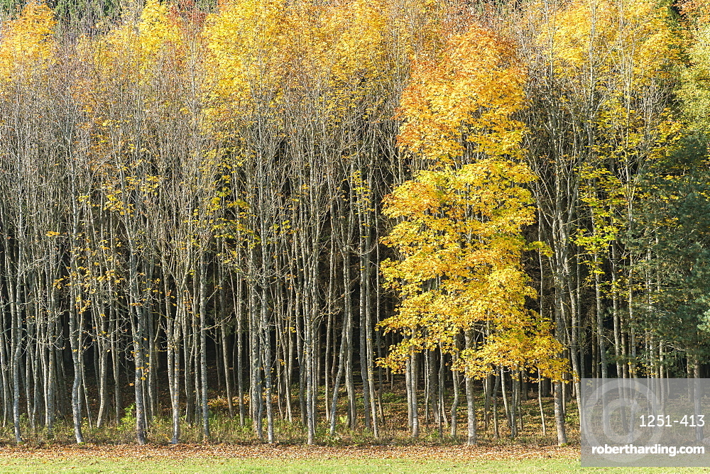 Forest of beech trees in autumnal colours, Heinstetten, Baden-Wurttemberg, Germany, Europe