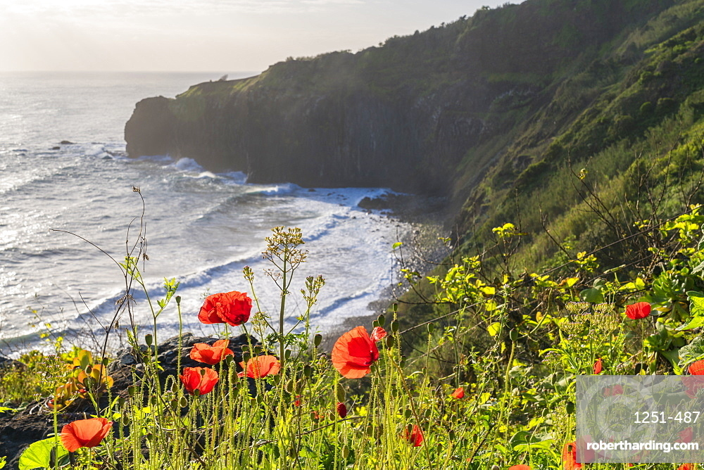 Poppy flowers and Crane viewpoint in the background. Faial, Santana municipality, Madeira region, Portugal.