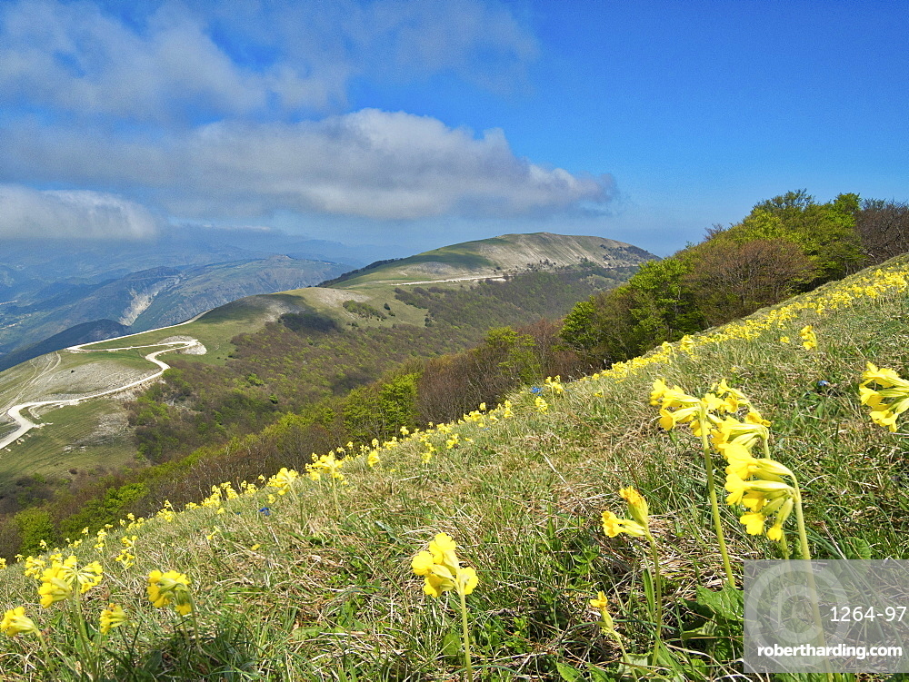 Yellow flowers blooming in the fields, Mount Acuto, Apennines, Umbria, Italy, Europe