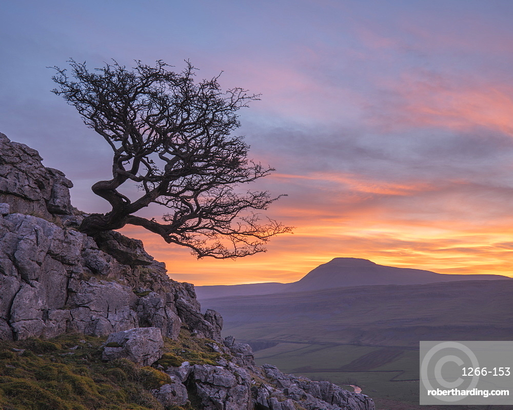 Hawthorn tree and view to Ingleborough Hill from Twisleton Scar above Ingleton, Yorkshire Dales, North Yorkshire, UK