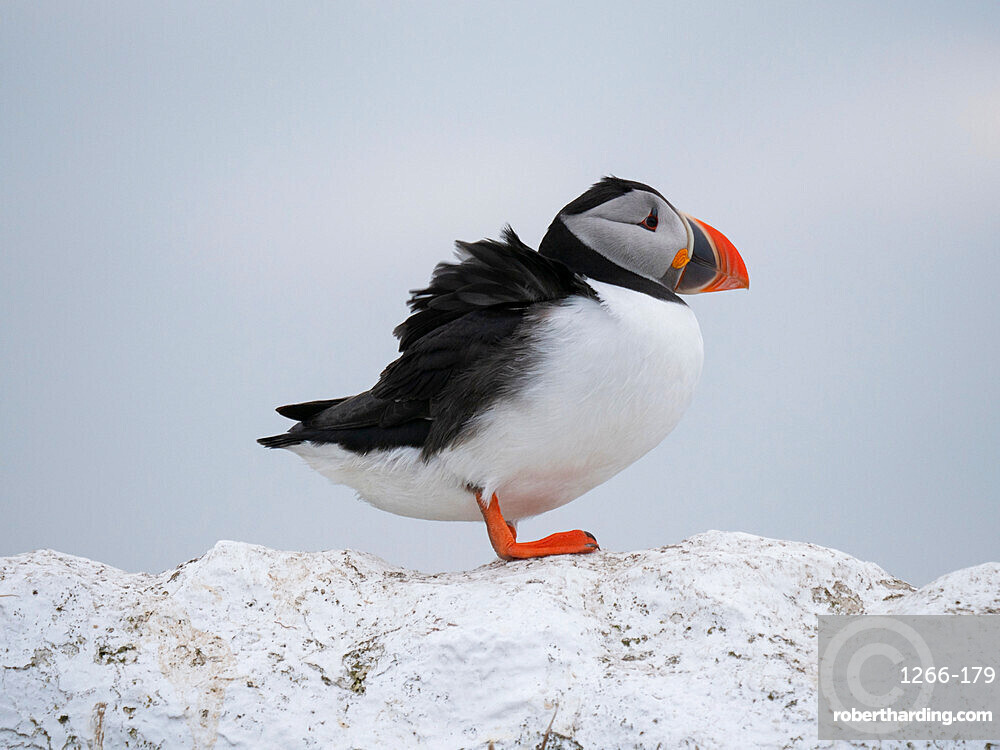 Puffin (Fratercula arctica) perched on wall, Inner Farne Island, Farne Islands, Northumberland