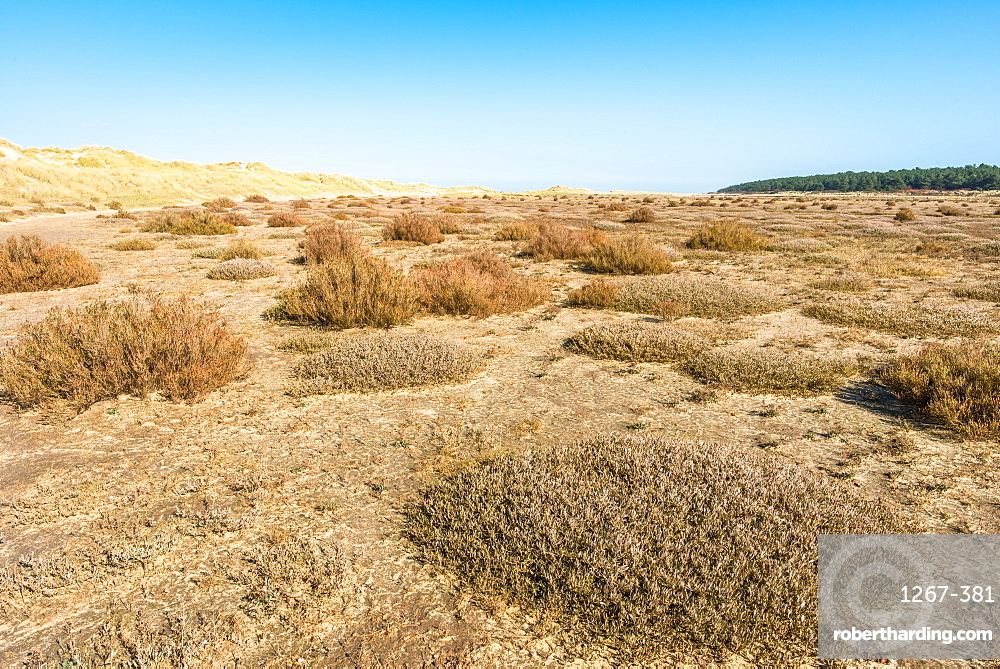 Desert flora near sand dunes on Holkham Bay, North Norfolk coast, Norfolk, East Anglia, England, United Kingdom, Europe