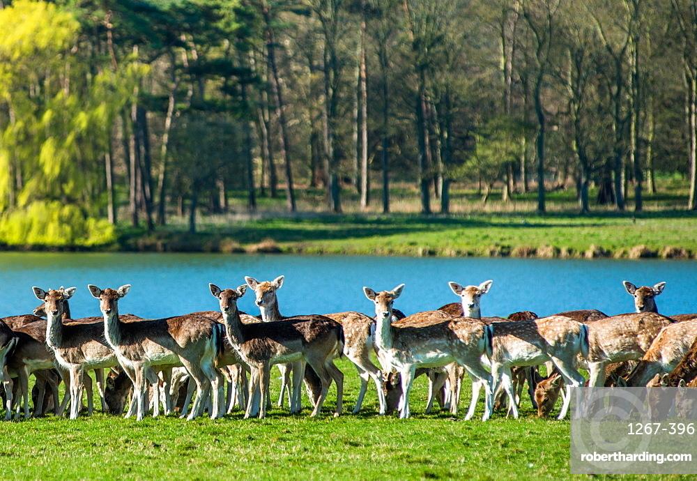 Fallow near the lake at Holkham Park, near the North Norfolk Coast, Norfolk, East Anglia, England, United Kingdom, Europe
