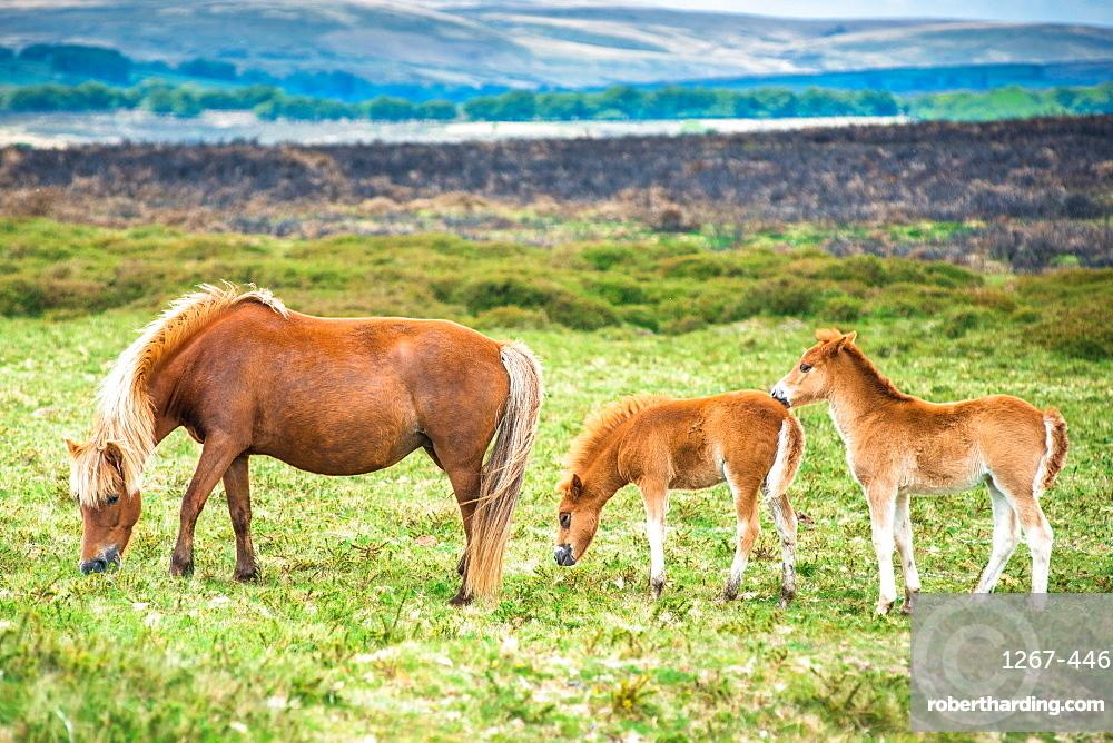 Two Dartmoor pony foals with Mare in Dartmoor National park in Devon, England, UK.