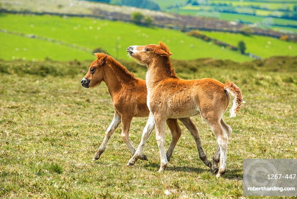 Two Dartmoor pony foals in Dartmoor National park in Devon, England, UK.