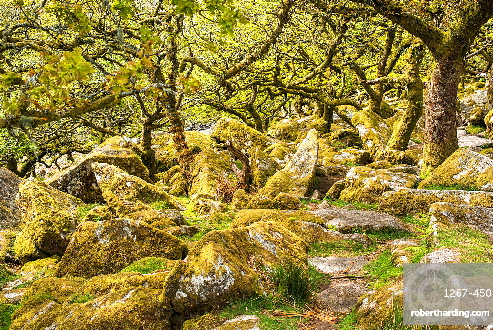 Sessile oaks and moss in Wistman's Wood, Dartmoor, Devon, England, United Kingdom, Europe