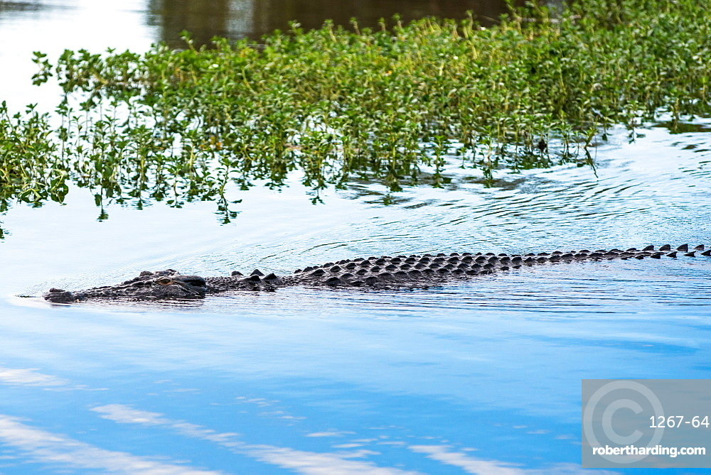 Saltwater crocodile in Yellow Water billabong and wetland, Kakadu National Park, Northern Territory, Australia, Pacific