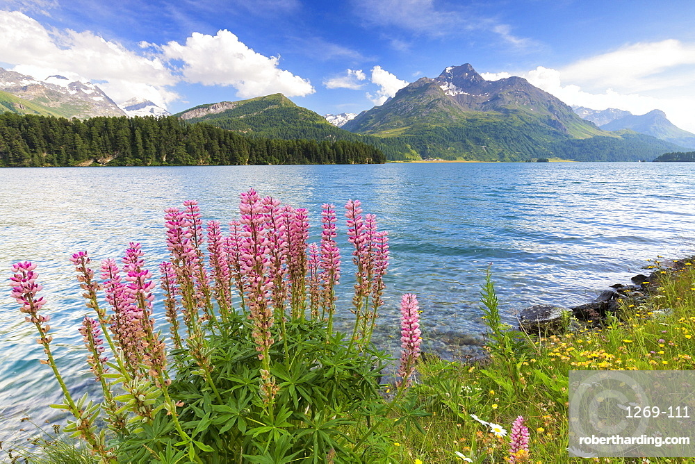 Bloom of Lupinus (Lupine) at Lej da Sils, Engadine Valley, Graubunden, Switzerland, Europe