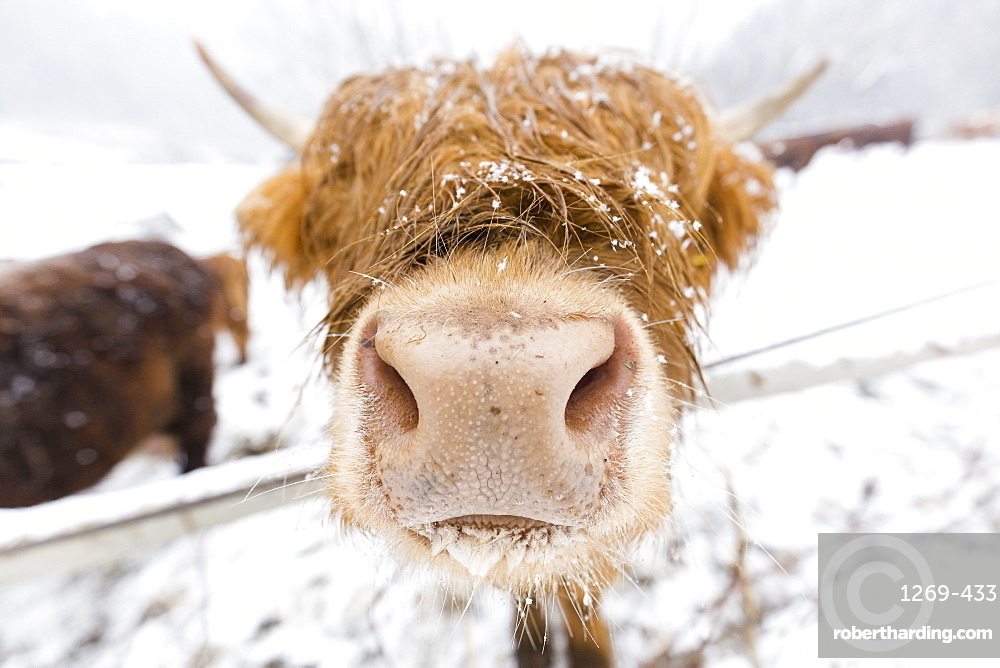 Highland cow in snow, Valtellina, Lombardy, Italy, Europe