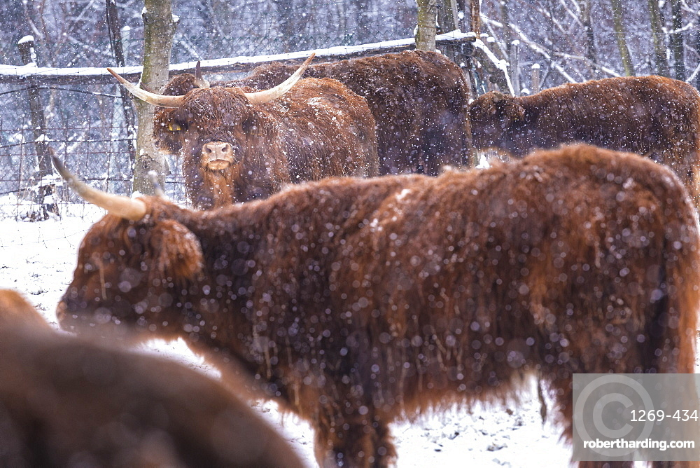 Highland cows in snow, Valtellina, Lombardy, Italy, Europe