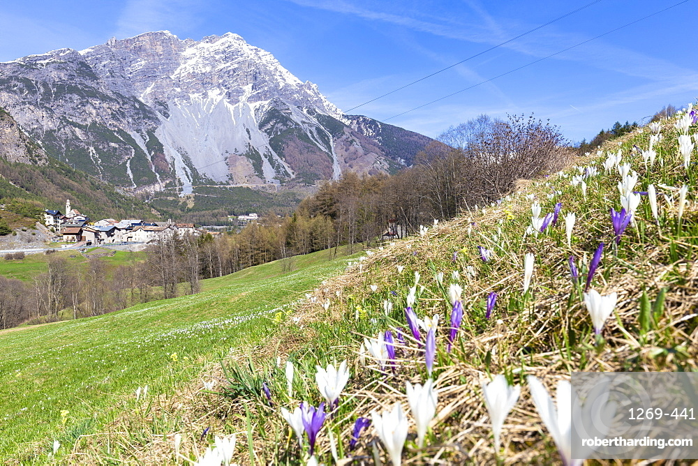 Flowering of crocus nivea with village in the background, Premadio, Valdidentro, Valtellina, Sondrio province, Lombardy, Italy, Europe