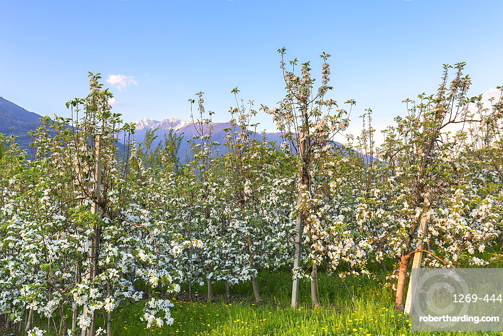 Apple orchards at sunset, Valtellina, Lombardy, Italy, Europe