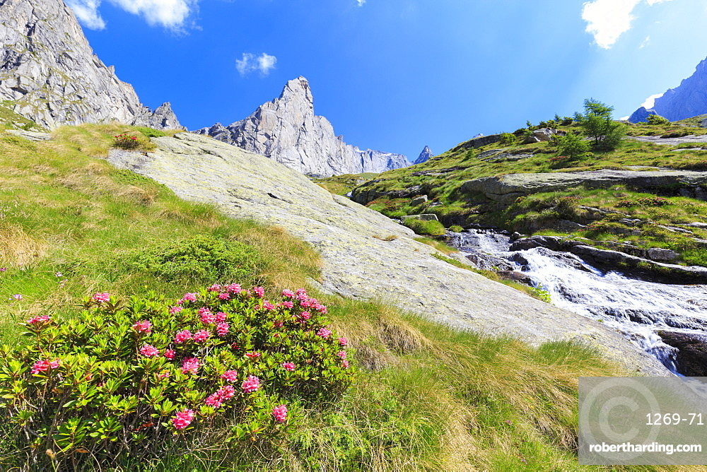 Blossoming of rhododendrons in Torrone Valley, Valmasino, Valtellina, Italy.