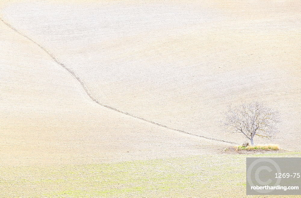 Lonely tree in the hills of Val d'Orcia, Siena province, Tuscany, Italy.