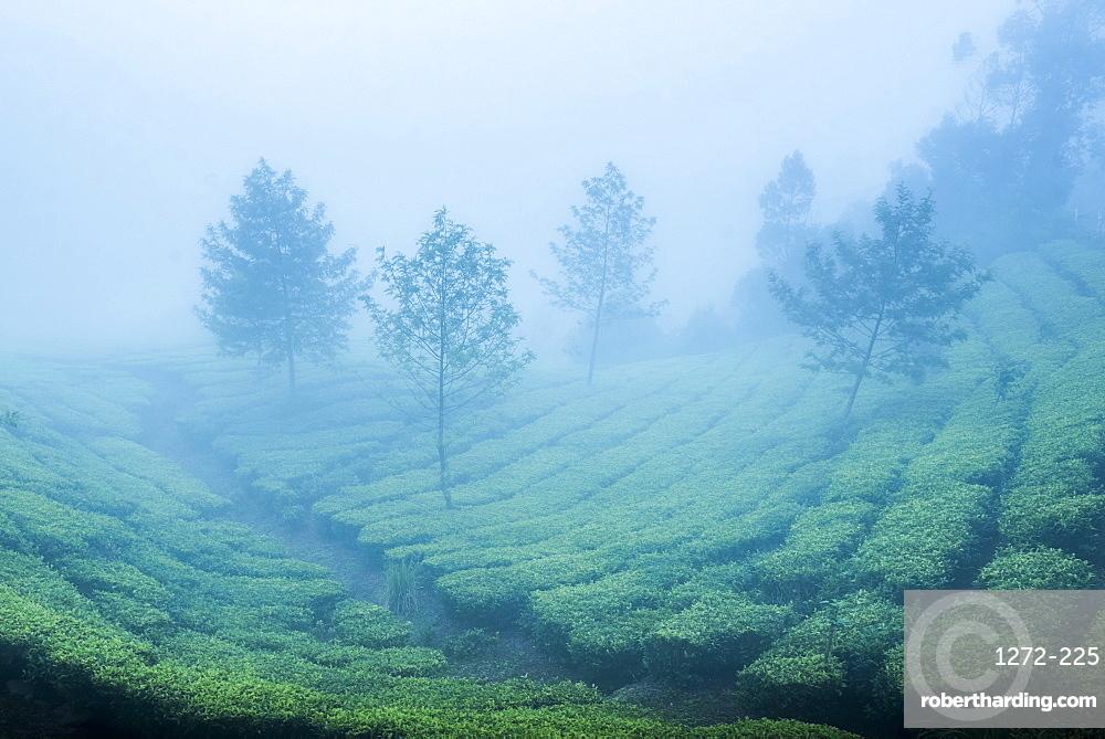 Tea plantations in mist, Munnar, Western Ghats Mountains, Kerala, India, Asia