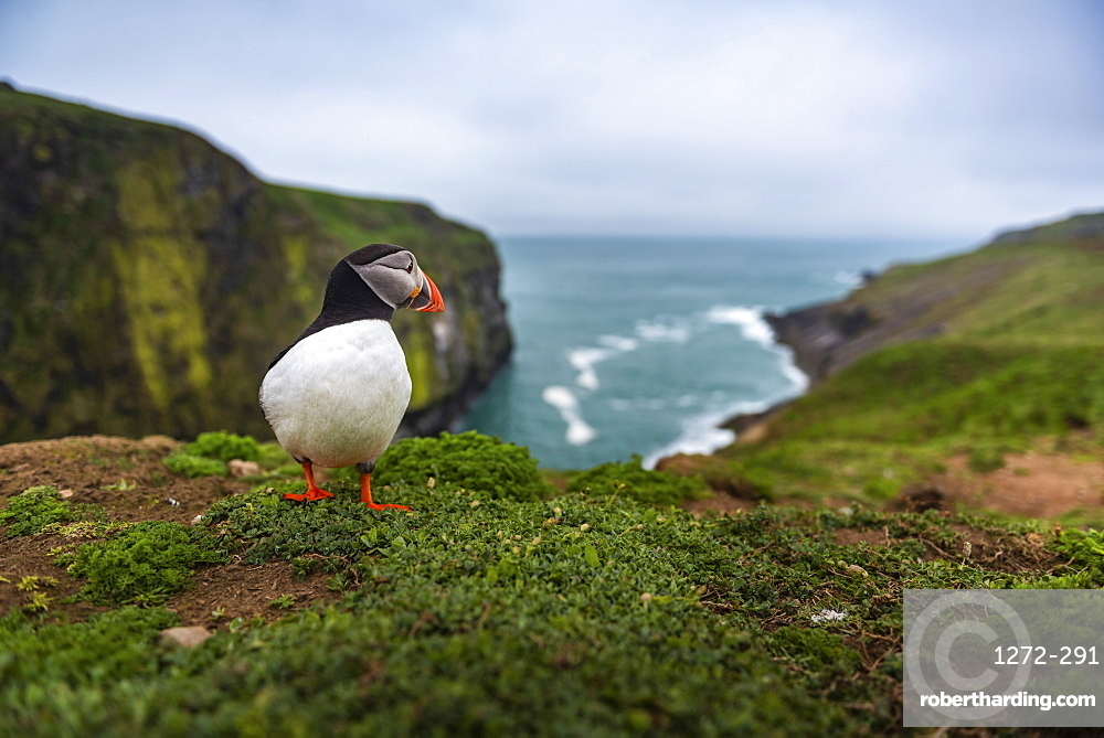 Puffin at the Wick, Skomer Island, Pembrokeshire Coast National Park, Wales, United Kingdom, Europe