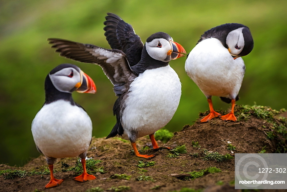 Puffins at the Wick, Skomer Island, Pembrokeshire Coast National Park, Wales, United Kingdom, Europe