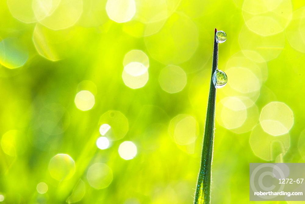 Morning dew, Dartmoor National Park, Devon, England, United Kingdom, Europe