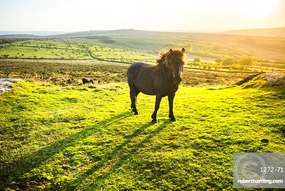 Pony in Dartmoor National Park, Devon, England, United Kingdom, Europe