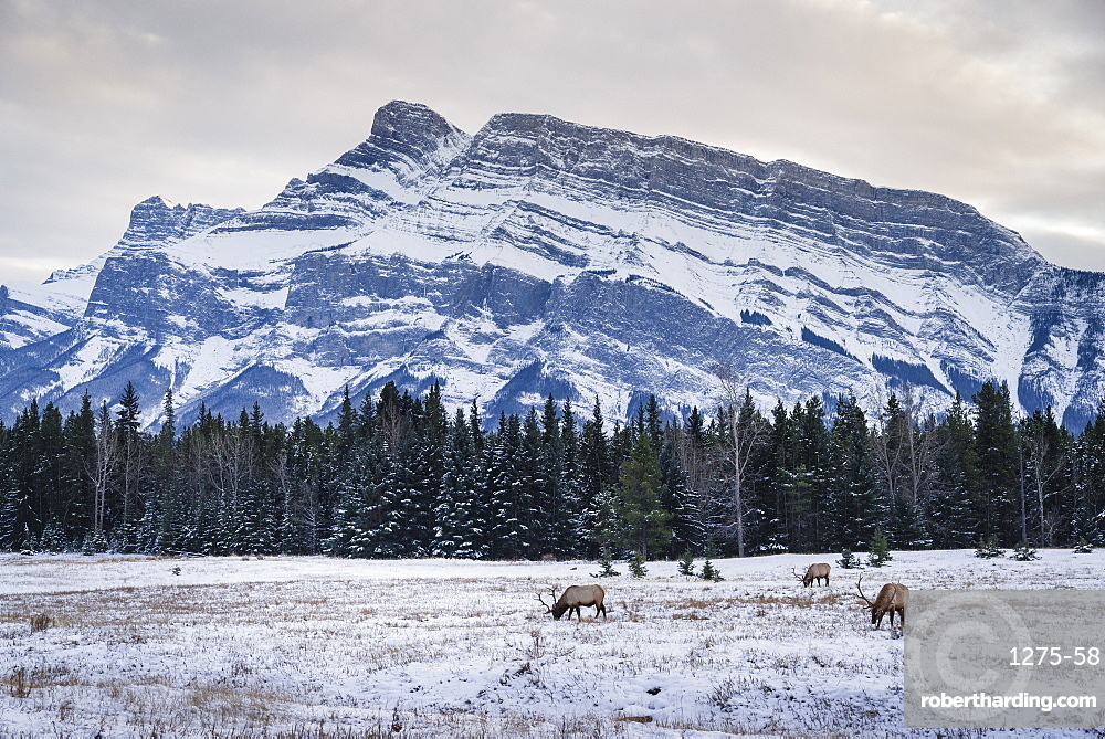 Winter landscape with wild elk in the Banff National Park, UNESCO World Heritage Site, Alberta, Canadian Rockies, Canada, North America