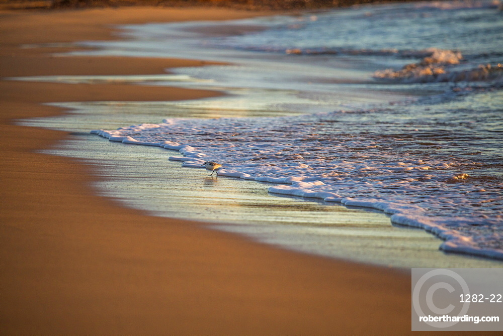 Little bird on a beach, Sagres, the Algarve, Portugal, Europe