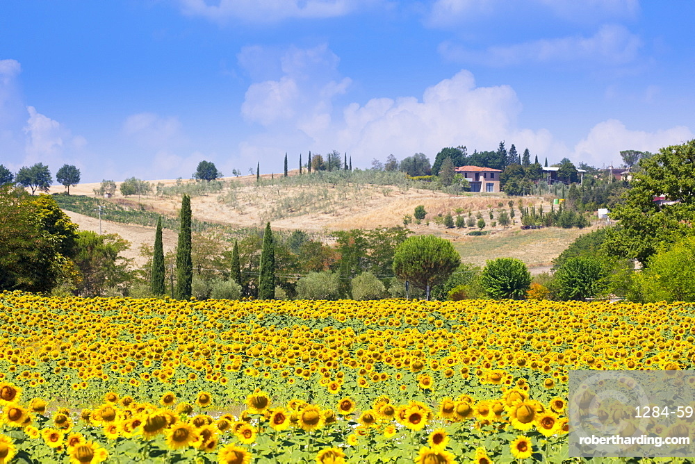 Sunflowers and blue skies in Tuscany countryside near Siena, Tuscany, Italy, Europe