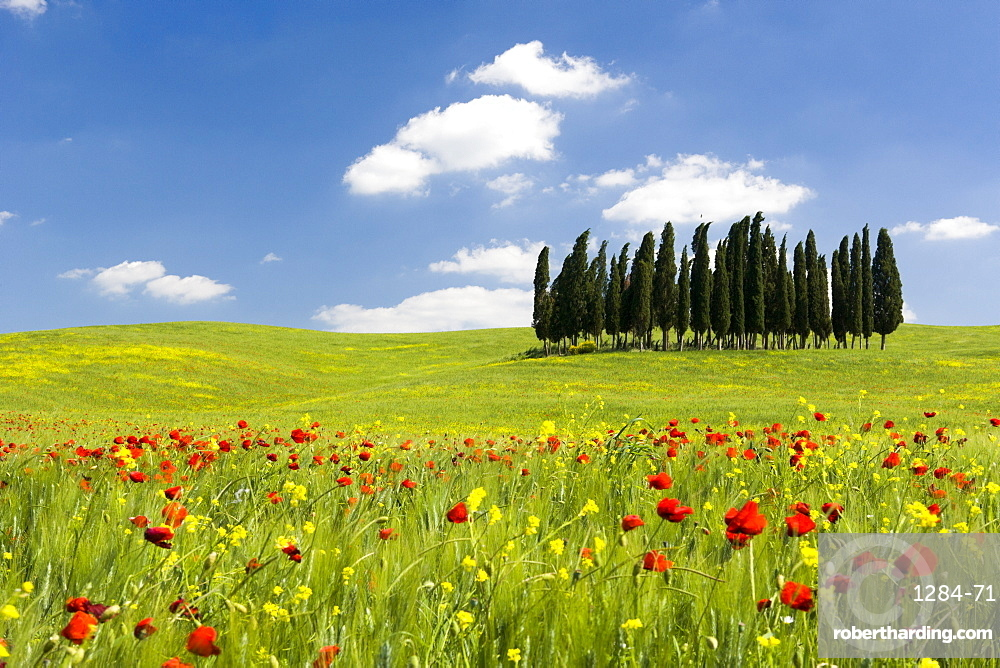 Cypress trees and poppies on green field with blue cloudy sky near San Quirico d'Orcia, Val d'Orcia, Tuscany, Italy