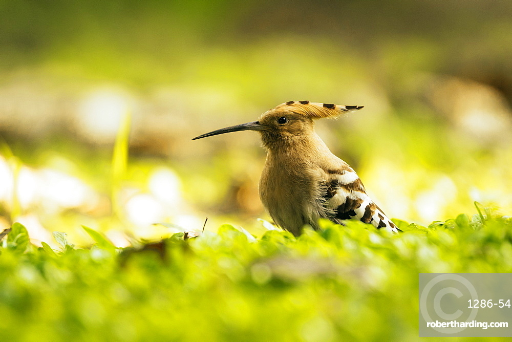 Hoopoe in Chiang Mai, Thailand, Southeast Asia, Asia