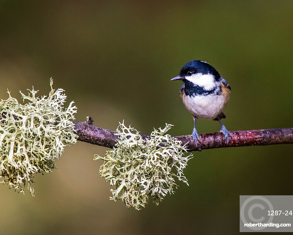 Coal Tit in Abernethy Forest near Aviemore, Cairngorm, Scotland, United Kingdom, Europe